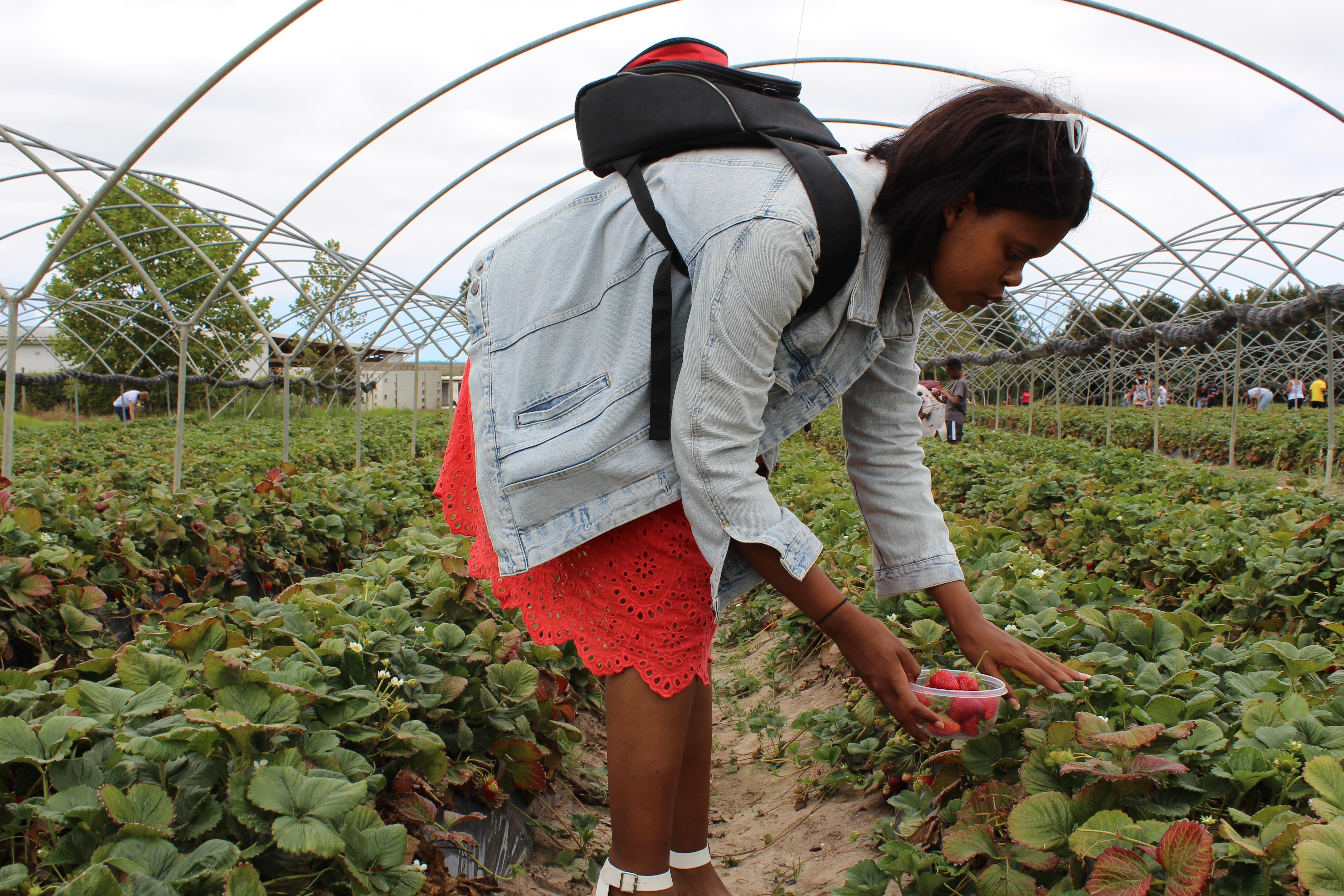 girl in orange skirt and demin jacket picking strawberries